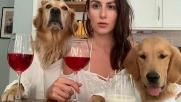 golden retrievers drinking with owner
