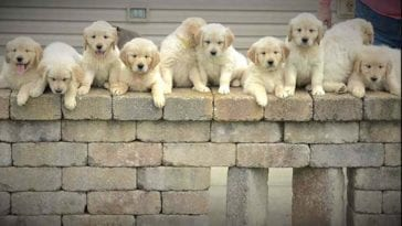 golden retriever saved owners and gave birth to 10 puppies