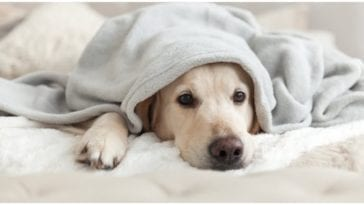 A dog laying with a blanket over his body while his owner wonders can you give a dog Advil?
