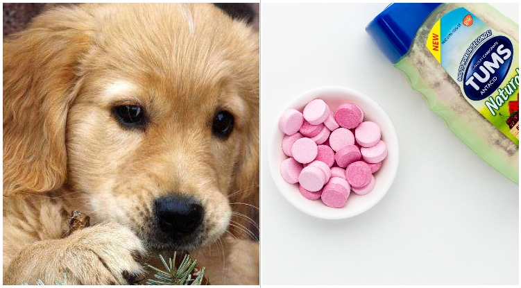 Golden retriever next to a bottle of tums while his owner wonders can you give a dog tums
