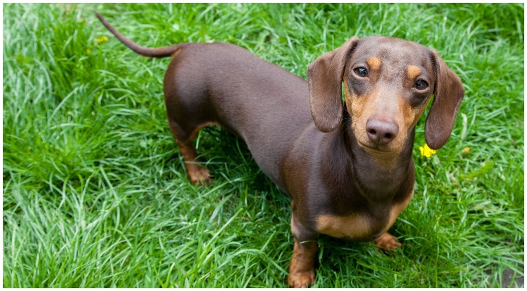 The Dachshund sitting on a green field of grass