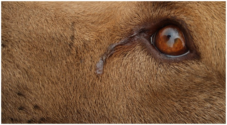Golden retriever eye with tear
