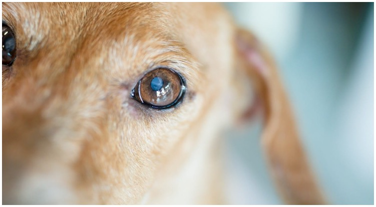 The eye of a golden retriever examined by a vet for a possible dog eye infection