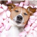 Dog laying in bed of marshmallows while his owner is wondering can dogs eat marshmallows