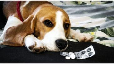 A dog laying next to aspirin while his owner wants to know can you give dogs aspirin
