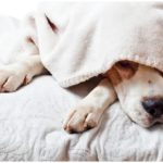 Dog trying to sleep with a blanket over his head while his owner wonders is melatonin for dogs safe?