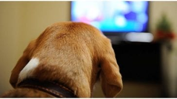 A dog calmly watching TV while his owner wonders can dogs see tv the way we do