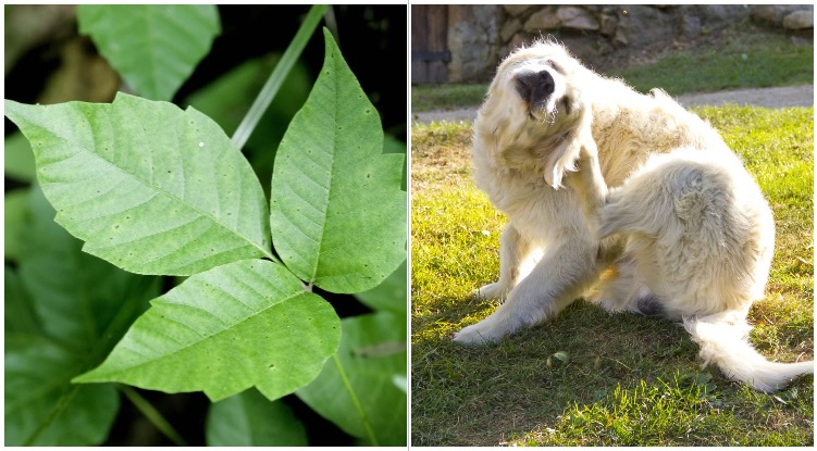 Golden retriever scratching himself while his owner is wondering can dogs get poison ivy