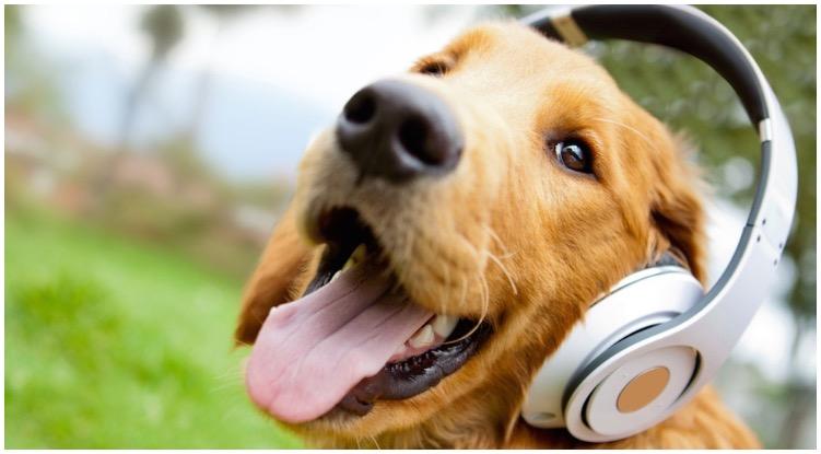 Golden retriever listening to music smiling