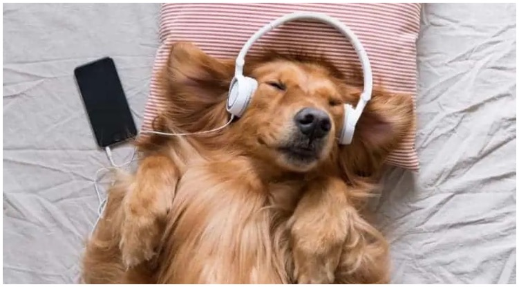 Golden retriever laying on bed listening to music while his owner wonders do dogs like music