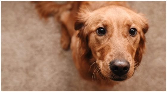 Golden retriever looking at his owner while he wonders about mites on dogs