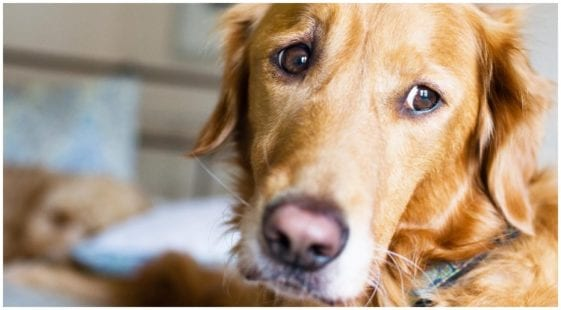 Golden retriever looking sad and in pain while his owner is learning about prozac side effects