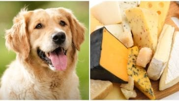 A plate of cheese and a smiling golden retriever while one question remains is cheese bad for dogs