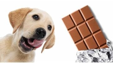 Golden retriever next to a bar of chocolate asking is chocolate bad for dogs?
