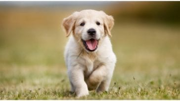 Golden retriever puppy running while his owner wonders about good dog names