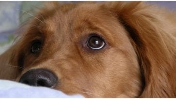 Adorable golden retriever puppy looking at owner while he wonders can dogs get pink eye?