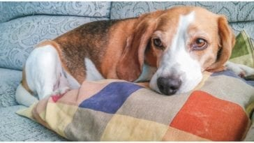A dog curled up on the couch not too well while his owner wonders about the low potassium symptoms in dogs