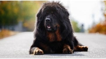 Tibetan Mastiff is the most expensive dog in the world