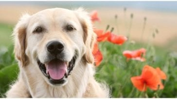 Golden retriever sitting in a field of poppies celebrating national golden retriever day