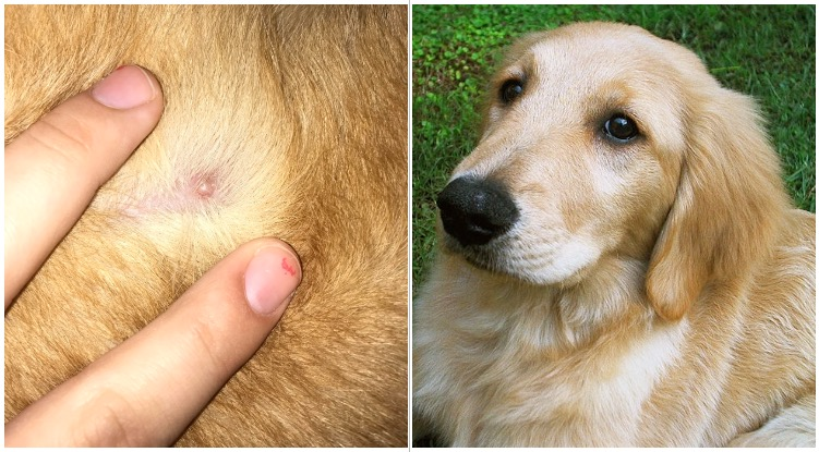 Golden retriever next to a pimple while his owner is wondering can dogs get pimples