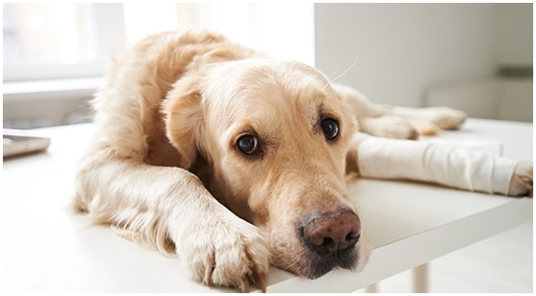 Dog laying on floor in pain while his owner wonders what are the tramadol side effects in dogs