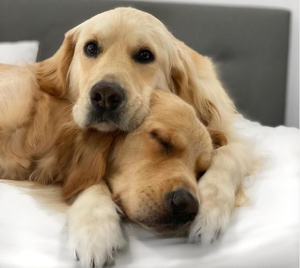 golden retriever brothers cuddling together