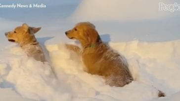 golden retriever brothers playing in the snow