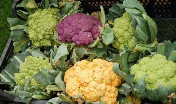 Can Dogs Have Cauliflower