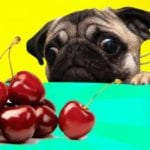 A picture of a dog staring at cherries in order to answer can dogs have cherries