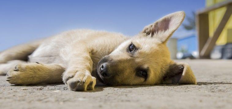 How To Wrap Dog's Paw