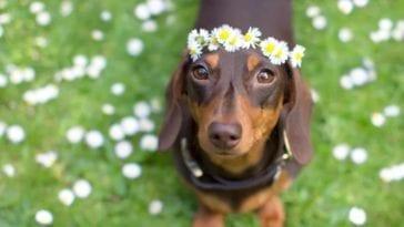 Cutest dog breeds: Dachshund