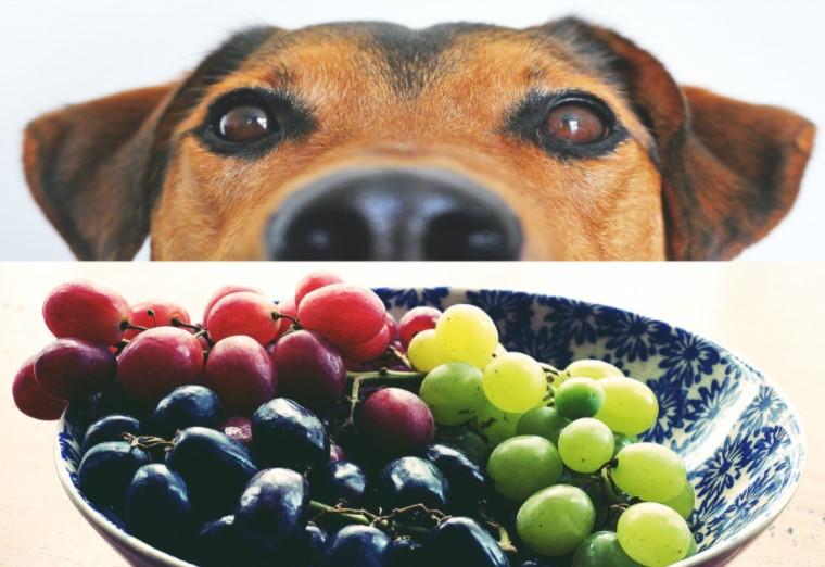 Dog looking at grapes