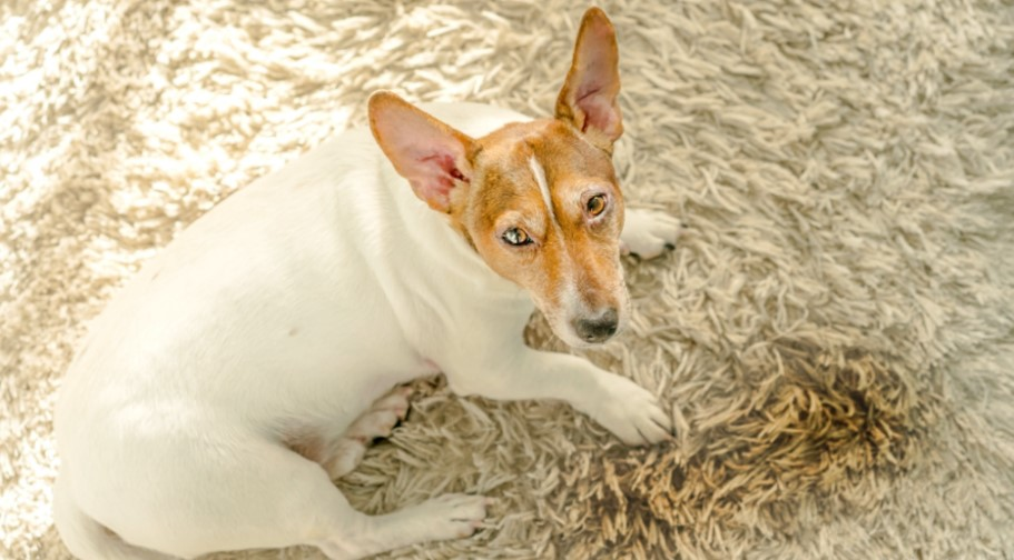 A picture of a dog next to pee in order to answer how to get dog pee smell out of carpet