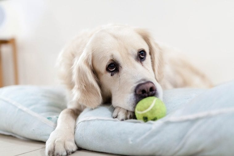 Thyroid Issues In Dogs