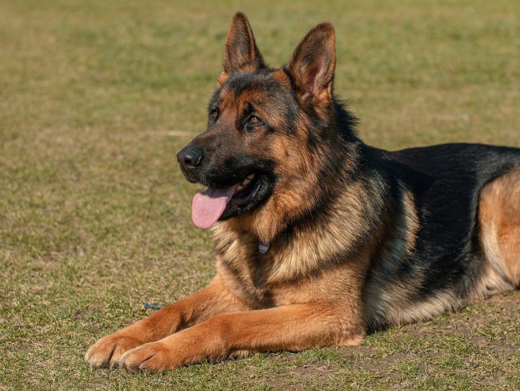 german shepherd black and brown dogs
