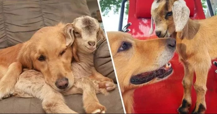 golden retriever baby siting a goat