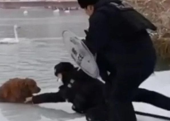 police officer saved a golden retriever from the lake