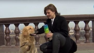 golden retriever trying to steal a microphone