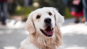 A picture of a Golden retriever