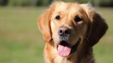 Golden retriever in order to answer the question can dogs have Down Syndrome?