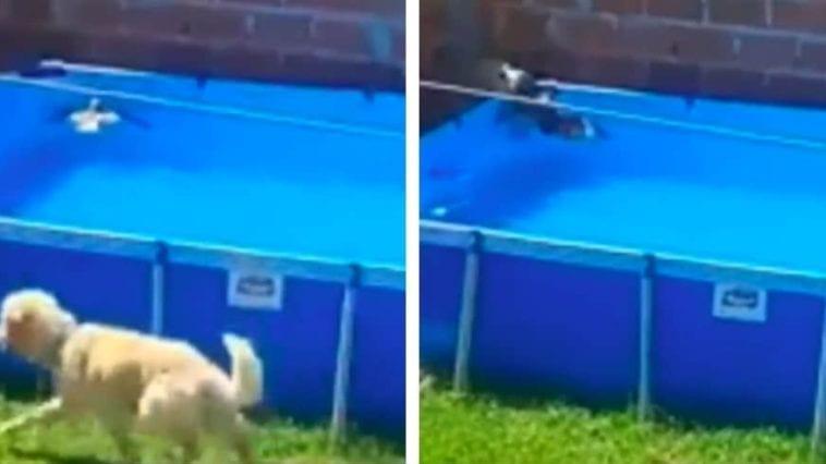 golden retriever saved a bird in the pool