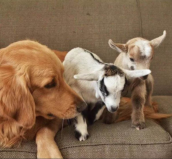 golden playing with baby goats
