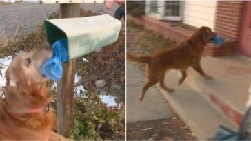 golden retriever brings newspapers to neighbors