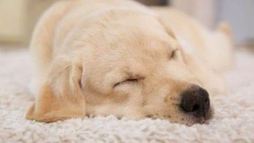 dog sleeping and barking