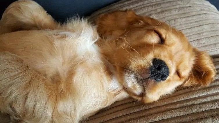 can goldens dream?