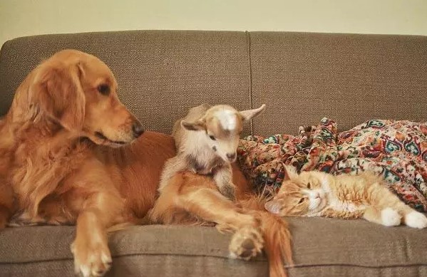 golden retriever, goat and cat sleeping together