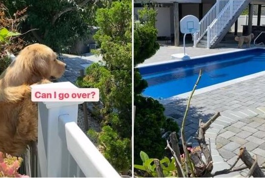 goldens' love over the fence