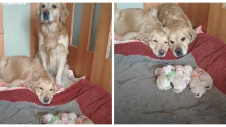 Golden retriever parents watching puppies