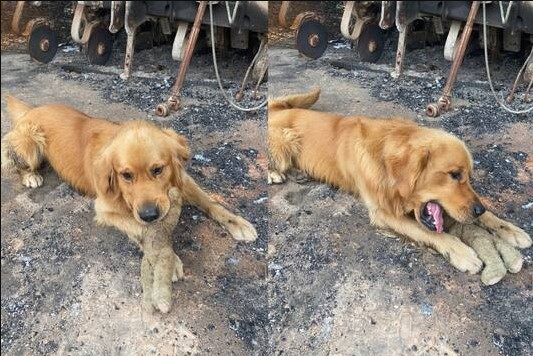 golden retriever playing with toy after bushfire