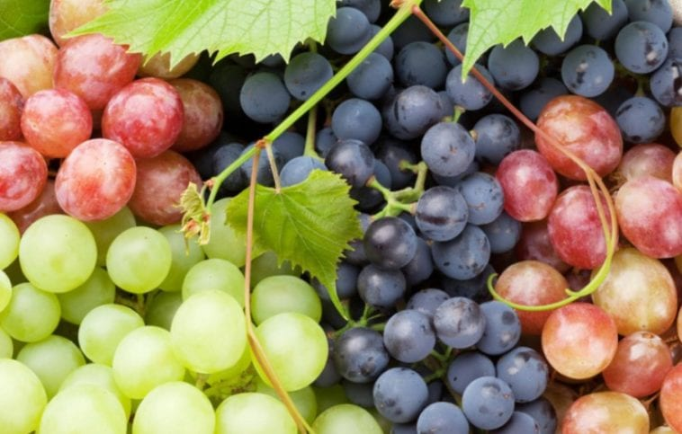 A picture of grapes in order to answer are grapes good for dogs